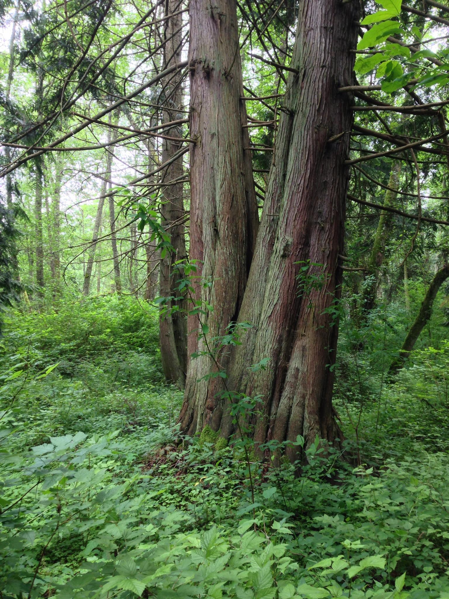 cedar grove