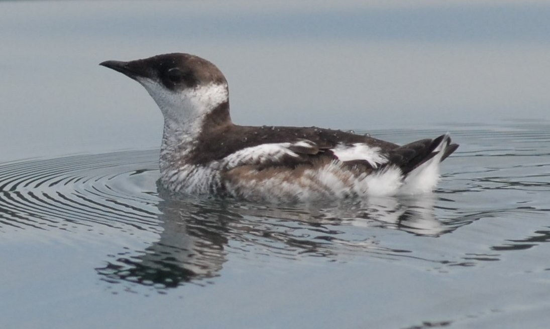 Marbled murrelets are threatened seabirds that nest in old growth forests. Photograph by Martin Raphael, U.S. Forest Service. Reproduced with permission from Wikimedia Commons.