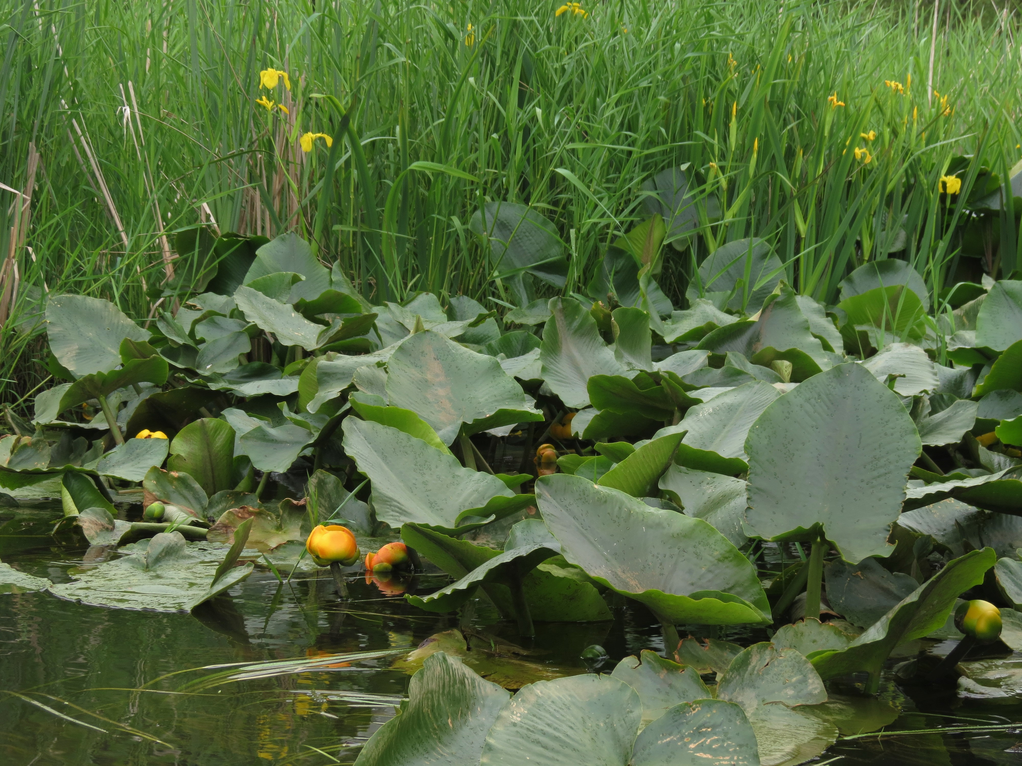 Waterlilies blooming in the spring at Big Lake Wetlands Conservation Area. Photograph credit: Skagit Land Trust staff.
