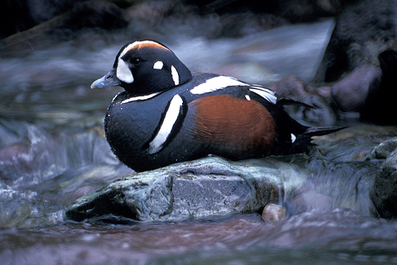 White Creek Conservation Area includes nesting habitat for harlequin ducks along a portion of White Creek. Photograph credit: National Park Service.