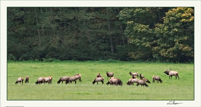 The Nooksack Elk Heard