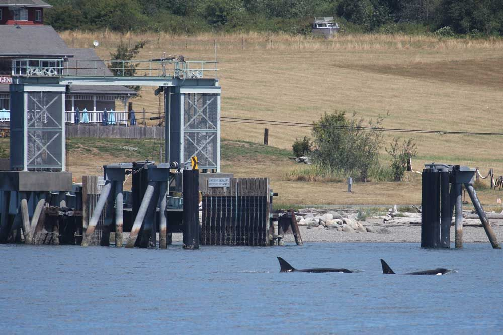 Orca whales swim in front of the Guemes Island Ferry. Photograph credit: Skagit Land Trust staff.