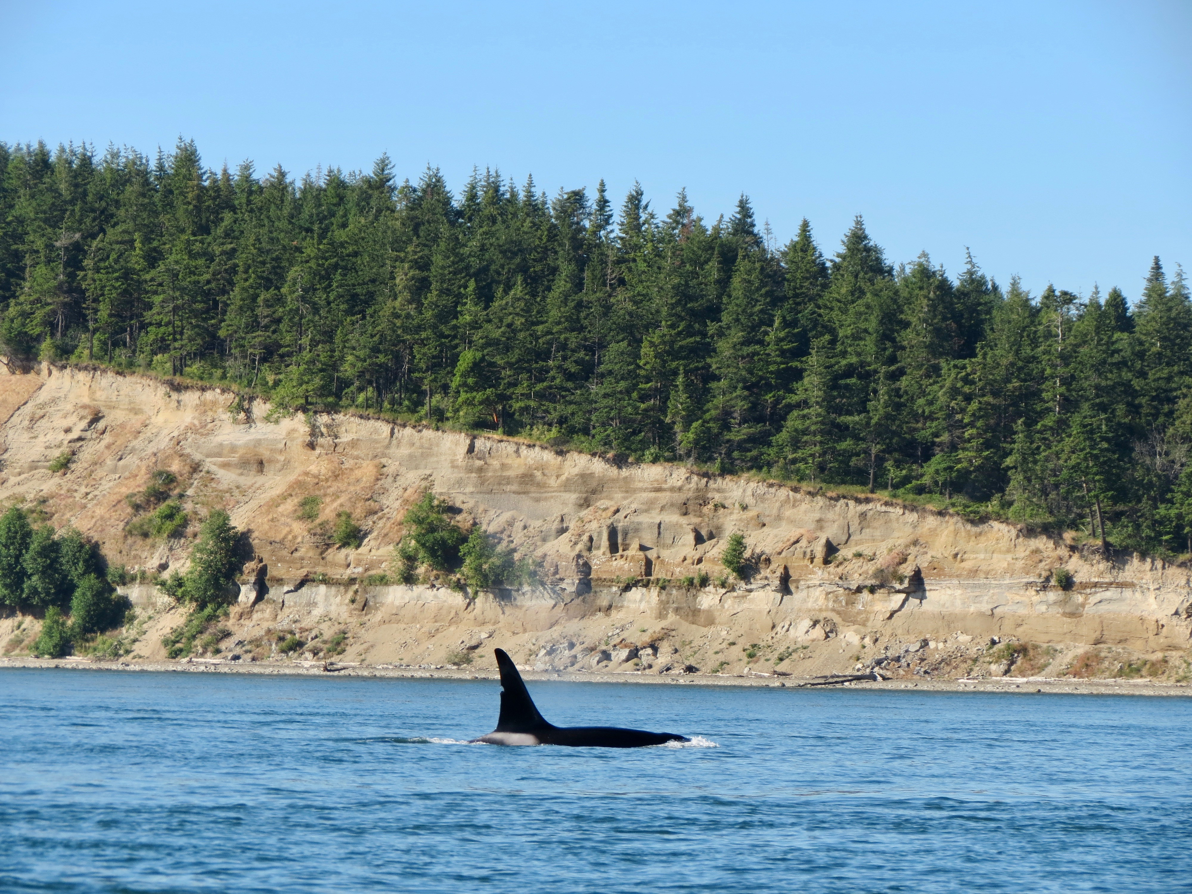 An orca rises in front of Yellow Bluff, part of Kelly's Point Conservation Area.