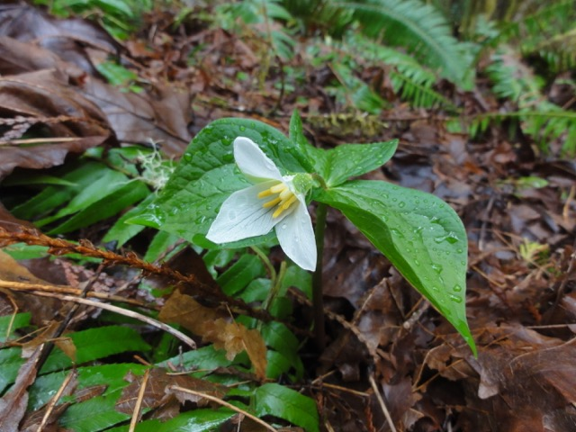 Above: Trillium flowers are a sign of spring at White Creek Conservation Area. Photograph credit: Skagit Land Trust staff.