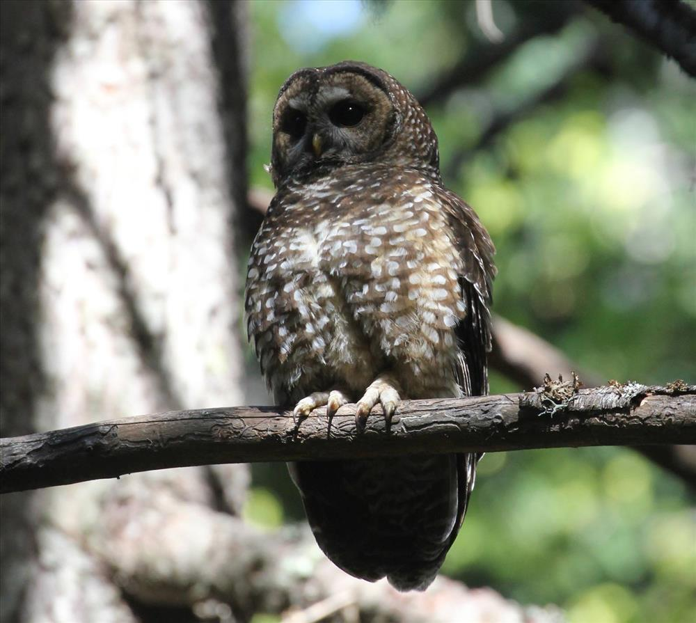 The Skagit River Khan Conservation Area lies within the Washington Department of Fish and Wildlife management buffer for the Northern Spotted Owl. Photograph credit: National Park Service.
