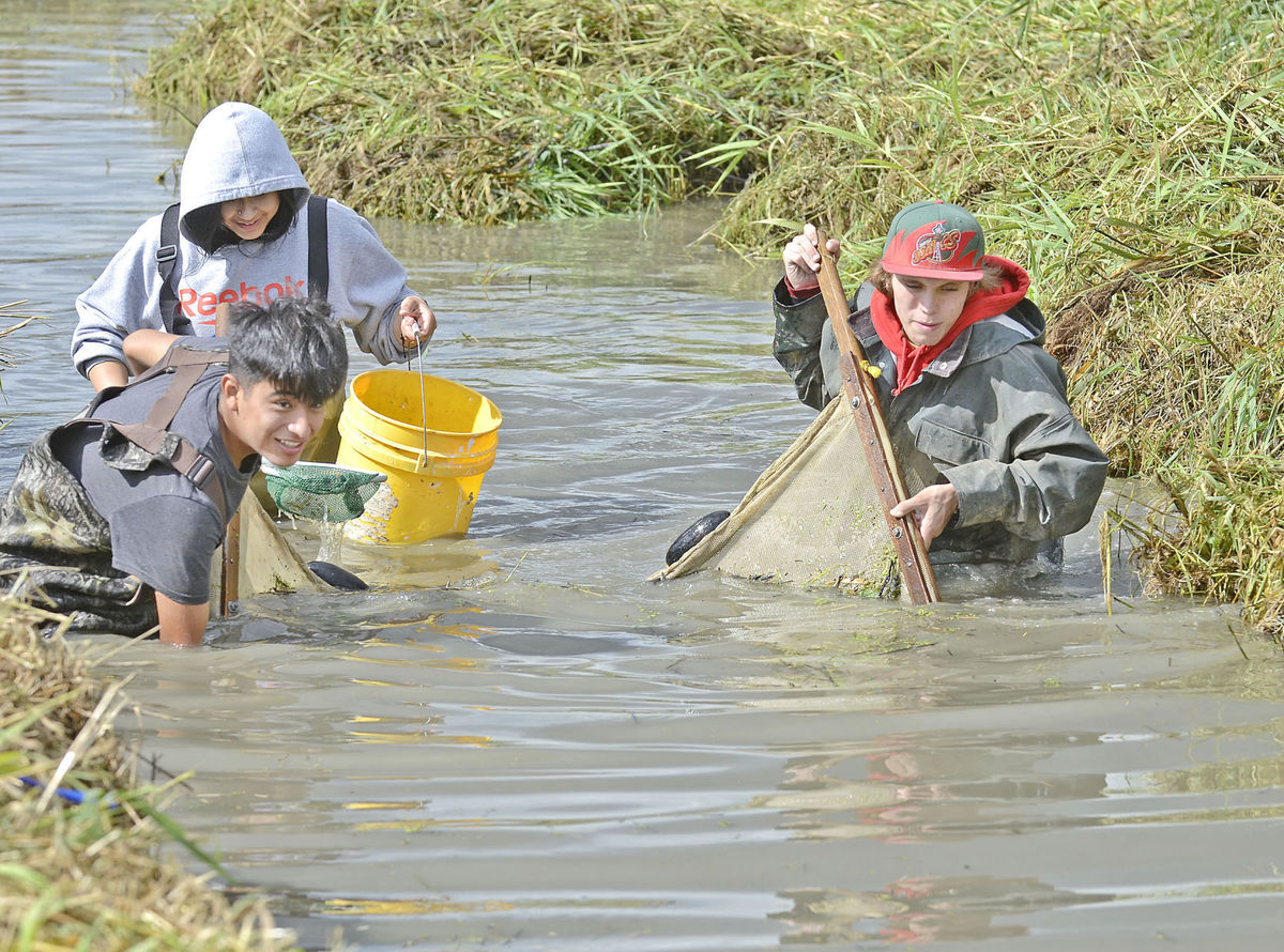 Students from Emerson High school participate in salmon restoration at Trumpeter Creek