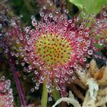 Sundew at Sumner Lake